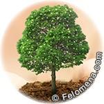 Деревья Рака по гороскопу