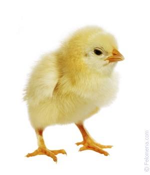 Примета Цыпленок