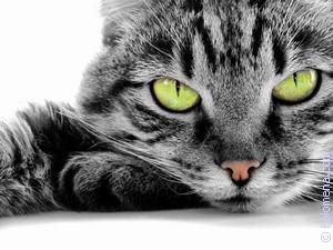 Примета Кот, кошка