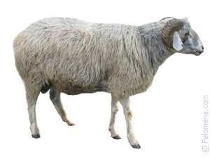 Примета Овца