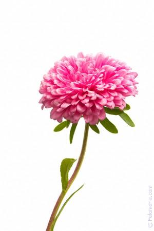 сонник астра цветок
