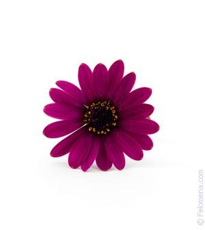 Сонник Фиолетовый