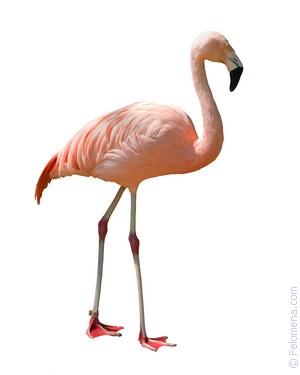 Сонник Фламинго