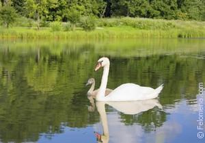 Сонник Лебедь