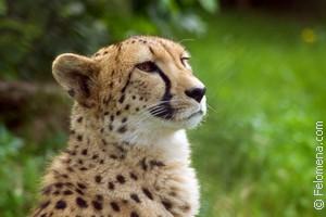Сонник Леопард