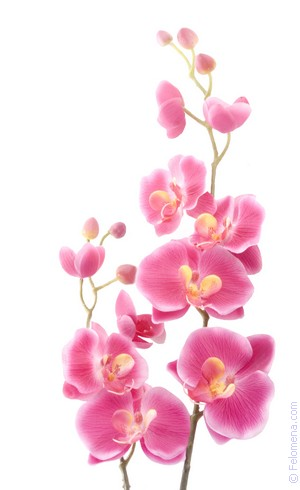 Сонник Орхидея