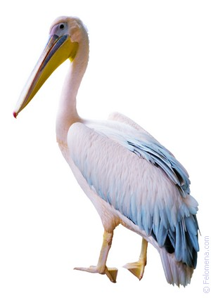 Сонник Пеликан