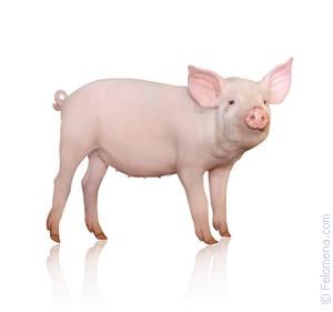 Затрахал до свин