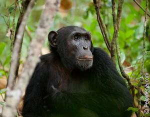 Сонник Шимпанзе