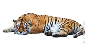 Две сексуально голодные тигрицы