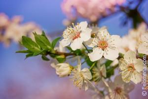 Сонник Весна