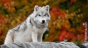 Сонник Волчица