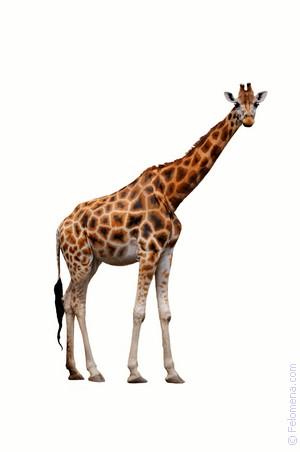 Сонник Жираф